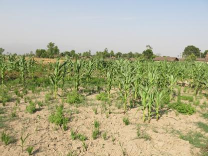 Typical farmer spring maize in far-west: water-stressed, and poorly managed