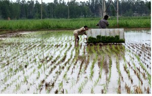 Newly transplanted rice seedlings: a mechanical transplanter in operation